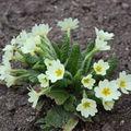 2009 04 07 Primevères en fleur