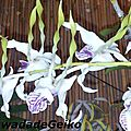 Les orchidophiles de Guadeloupe s'exposent