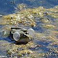 La migration des grenouilles au printemps…