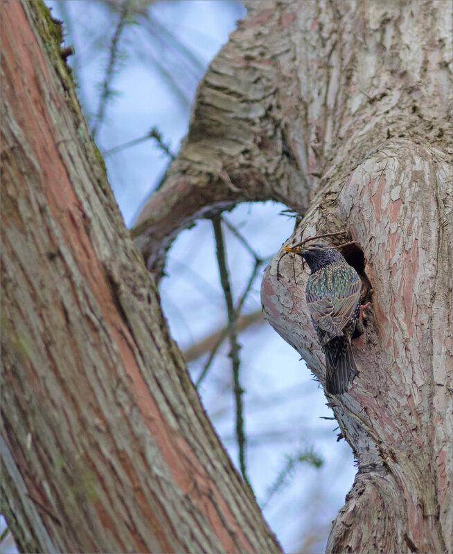 oiseau étourneau branchettes technique 4_1 050418