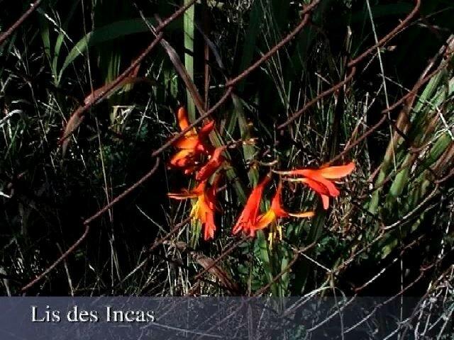 Alstroemeria auriantiaca ou Lis des Incas ou Lys des Incas de l'