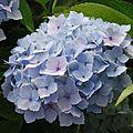 <b>Hydrangea</b> <b>macrophylla</b> 'Hopaline'