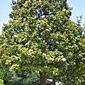 🌳ARBRE PERSISTANT: Magnolia Grandiflora