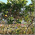 Salade de fruits avec les oranges du jardin.