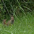 Le lapin de garenne...