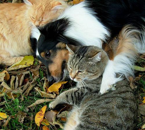 chien et chat lassietiger