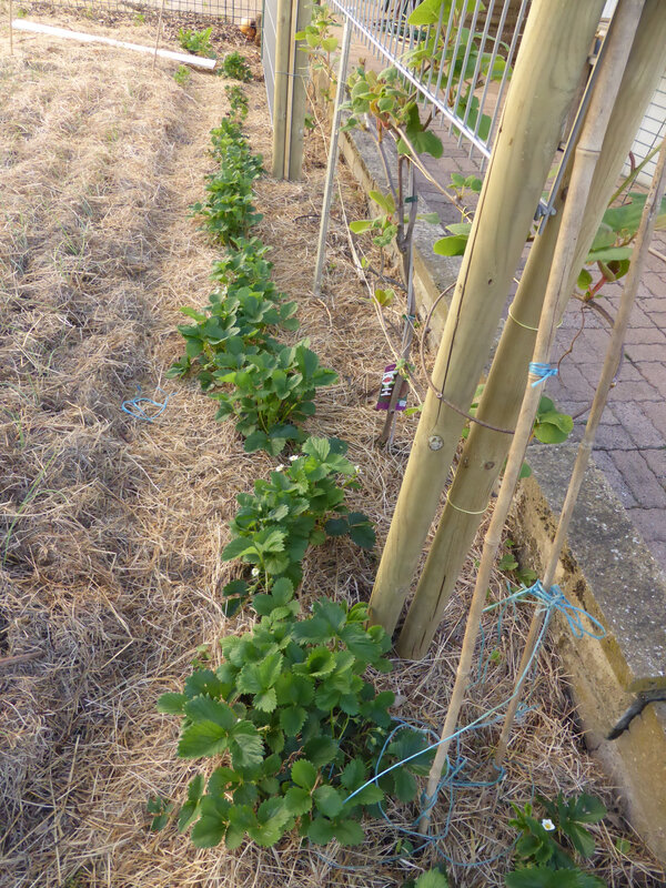 11-fraisiers (3)