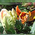 balanicole_2017_05_le printemps des tulipes_07_perroquet1