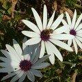 DIMORPHOTECA - Osteospermum ecklonis
