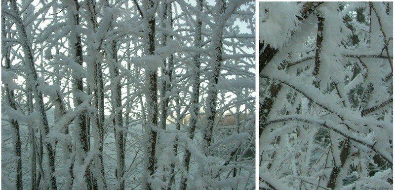 Branchages gelés (hiver 2006)