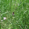 Collier de Corail (Aricia agestis)