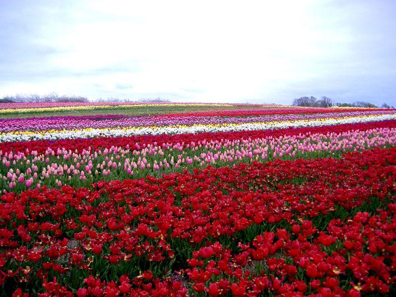 La Torche - tulipes