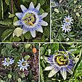 Passiflore <b>bleue</b> (Passifloracées)