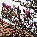 Magnolia 2901167