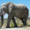 Intelligence animale : l'éléphant aurait conscience de son corps