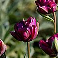<b>Tulipes</b>