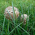 Coulemelle, macrolepiota procera...