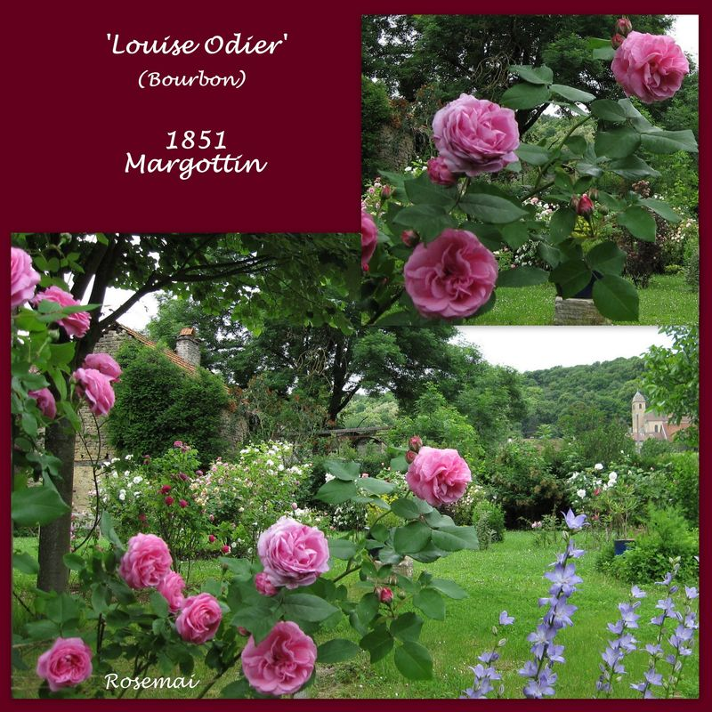 Rose ancienne 'Louise Odier'