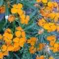 2008 10 05 Fleurs d'érysimum