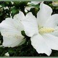 Althéas blancs 090715