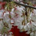 fleurs blanches de cerisier du Japon