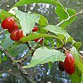cornus officinalis (2) - Copie