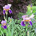 Nos iris des jardins