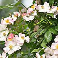 rosa francis e lester