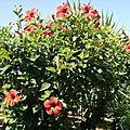 Hibiscus sur tige