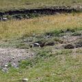 marmotte joue à cache cache