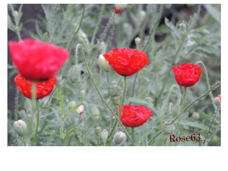 Mes coquelicots Rose63