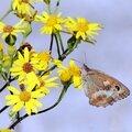 L'Amaryllis (Pyronia tithonus) revers