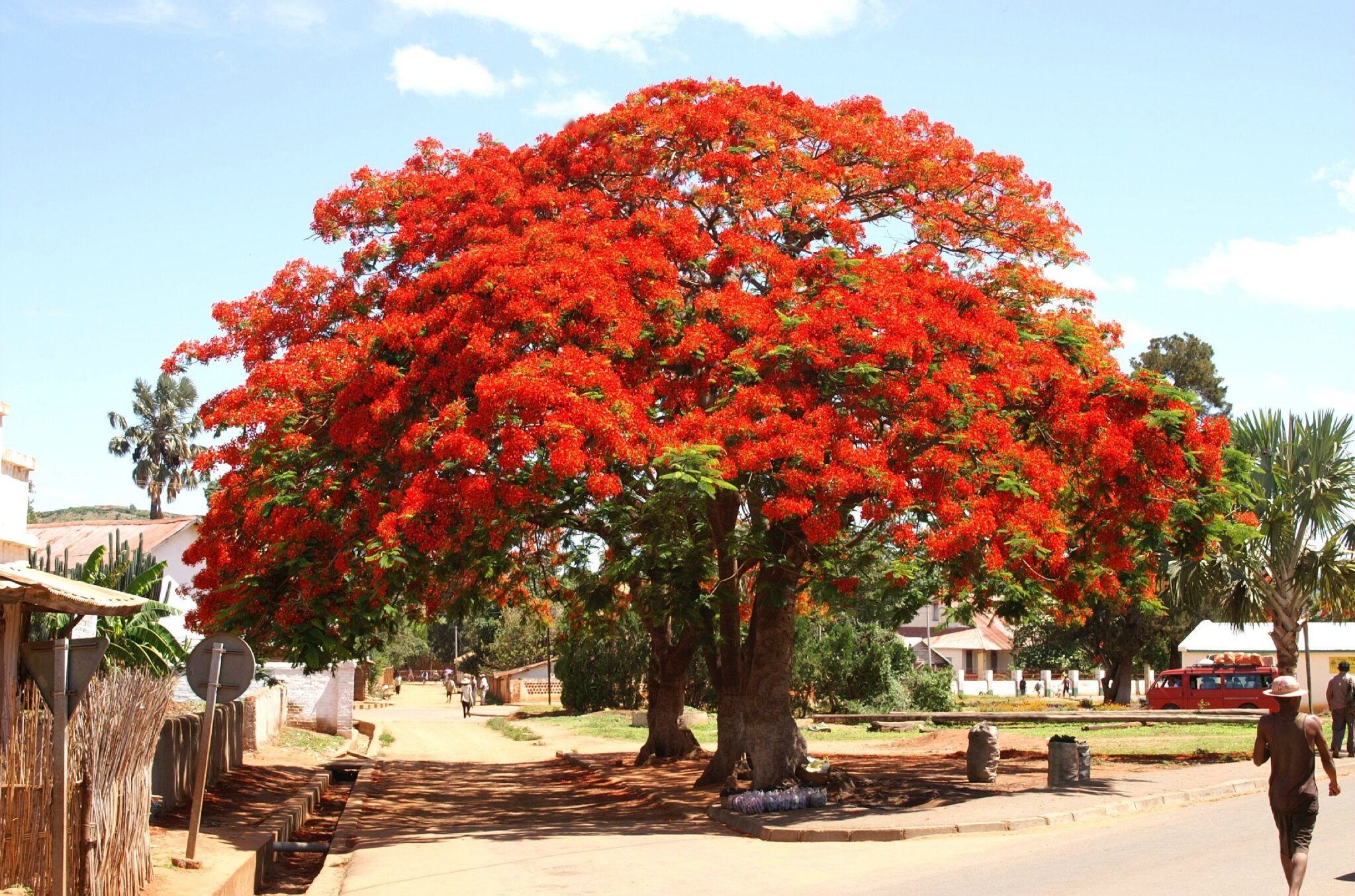 Flamboyant malgache photo de madagascar le blog d 39 albatros for Arboles ornamentales para jardin