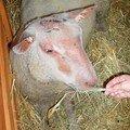 Un ovin charolais (Charolles, avril 2008)