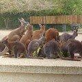 Repas des Kangourous
