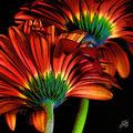 04B. Marguerites rouge