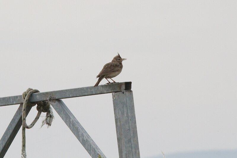 Lesbos oiseaux 15 - Cochevis huppé