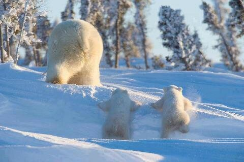 hiver ours blanc
