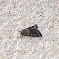 Noctuidae<<<<