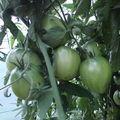 2008 08 14 Mes tomates coeur de boeuf