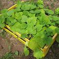 Legumes a planter2