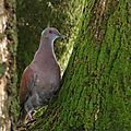 Patagioenas cayennensis - Pigeon rousset