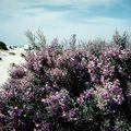 dunes en fleurs