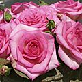 La rose <b>Sophie</b> <b>Davant</b>