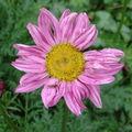 2008 06 11 Une fleur de pyrèthre de Robinson