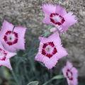 2009 06 16 Oeillet des fleuristes