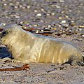 Record de naissances de phoques gris dans la réserve bretonne des sept-îles
