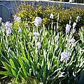 Iris des adorables jardiniers mérois du rompoint de mer quand on vient de chambord et donc de muides