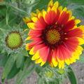 2008 06 29 Une fleur de gaillarde naine