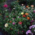 2009 08 07 Zinnias en mélange en fleurs